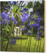 Agapanthus In The Garden Wood Print