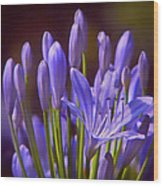 Agapanthus - Lily Of The Nile - African Lily Wood Print
