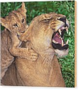 Ah Being A Mother Is Wonderful African Lions Wildlife Rescue Wood Print