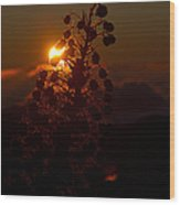 Ahinahina - Silversword - Argyroxiphium Sandwicense - Sunrise On The Summit Haleakala Maui Hawaii  Wood Print