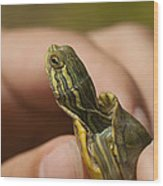 Alabama Red-bellied Turtle -  Pseudemys Alabamensis Wood Print