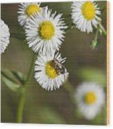 Alabama Wildflower Robin's Plantain - Erigeron Pulchellus Wood Print