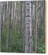 Alaska - A Dense Grove Of Birch Trees Wood Print