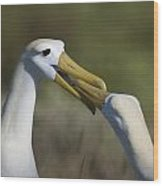Albatross Courtship Wood Print