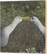 Albatross Perform Courtship Ritual Wood Print