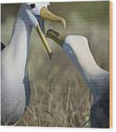 Albatross Perform Mating Ritual Wood Print