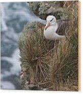 Albatross Rookery Wood Print