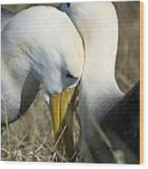 Albatrosses Snuggle Wood Print
