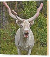 Albino Reindeer Wood Print