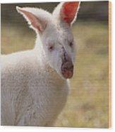 Albino Wallaby Wood Print
