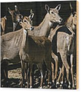 Alert Antelopes Wood Print