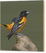 Alert Baltimore Oriole Wood Print