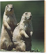 Alert Black-tailed Prairie Dogs Wood Print
