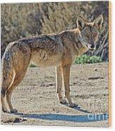 Alert Coyote Wood Print