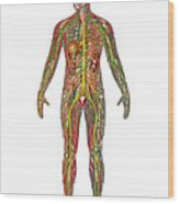 All Body Systems In Male Anatomy Wood Print