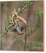 Allen Hummingbird In Flight Wood Print