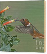 Allens Hummingbird Feeding Wood Print