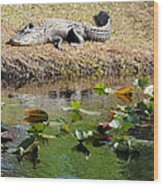 Alligator Sunbathing Wood Print