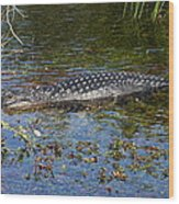 Alligator Swimming In Blue Water Wood Print