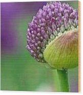 Allium Blooming Wood Print