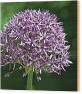 Allium Wood Print
