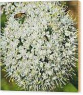 Allium Flower And Lightning Bug Wood Print