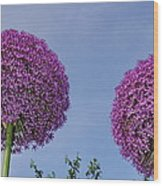 Allium Flowers Wood Print