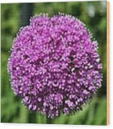 Allium Globe Wood Print
