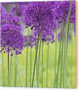 Allium Hollandicum Purple Sensation Flowers Wood Print