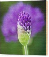 Allium Hollandicum Purple Sensation Wood Print