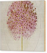 Allium Pink Jewel Wood Print