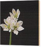 Allium Species 1 Wood Print