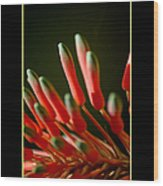 Aloe Bloom Window 2 Wood Print