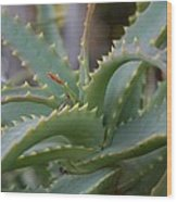 Aloe Vera Leaves  Wood Print