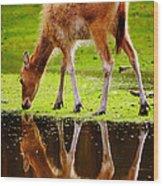 Along The Water Grazing Pere David's Deer Wood Print