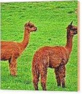 Alpacas Wood Print