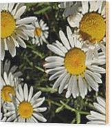 Alpine Daisies In Glacier National Park Wood Print