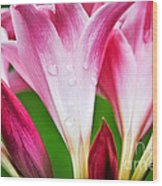 Amaryllis Flowers And Buds In The Rain Wood Print