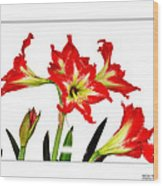 Amaryllis On White Wood Print