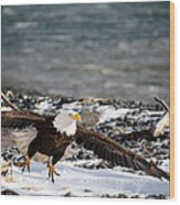 Amazing Bald Eagle  Wood Print