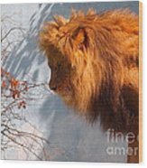 Amazing Male Lion Wood Print