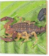 Amazonian Scorpion Wood Print