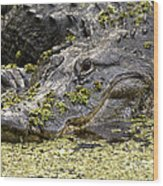 American Alligator Print Wood Print