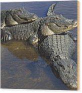 American Alligators In Shallows Florida Wood Print