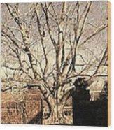 American Beech Tree - Dumbarton Oaks Wood Print