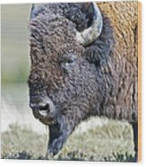 American Bison Closeup Wood Print