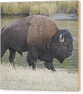American Bison On The Madison River Wood Print