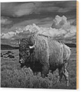 American Buffalo Or Bison In The Grand Teton National Park Wood Print