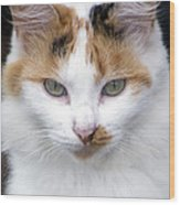 American Calico Cat Portrait Wood Print
