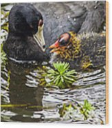 American Coot And Chick Wood Print